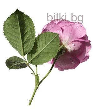 българска роза снимка, майслодайна роза цвят,