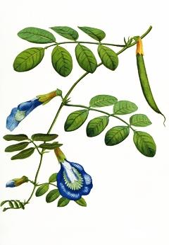 клитория тернатея, clitoria ternatea, син чай, пеперуден чай, butterfly pea tea