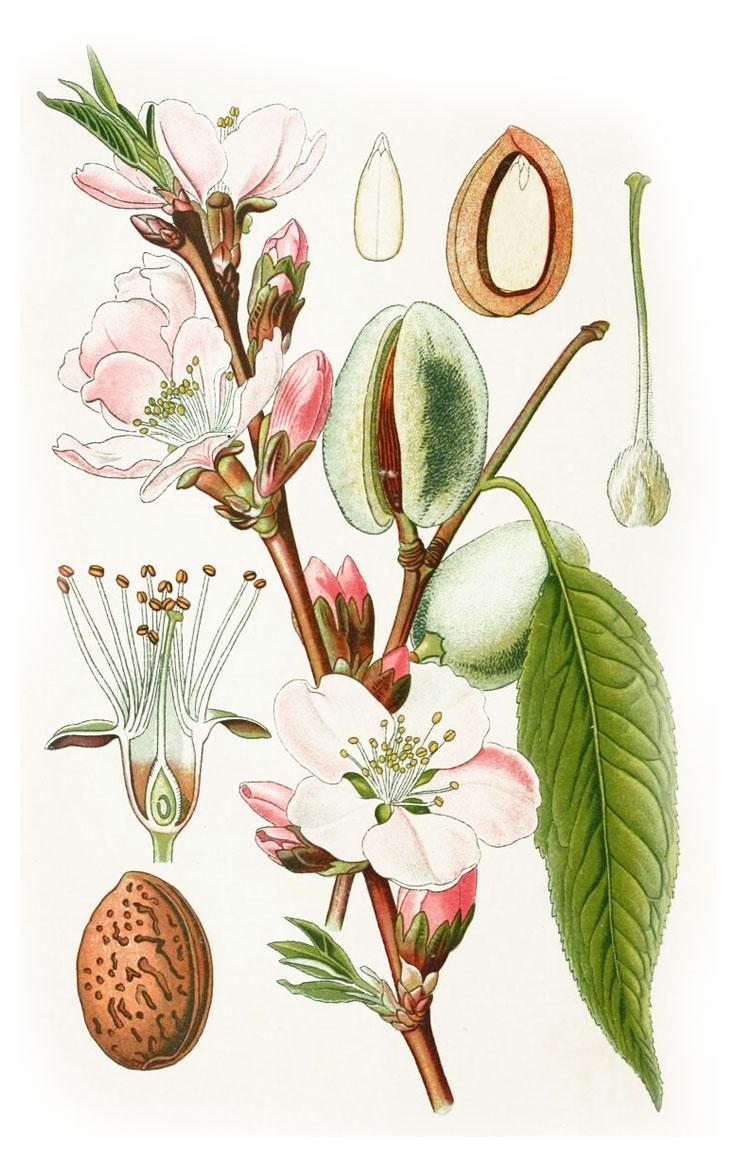 бадем, amygdalus communis L.