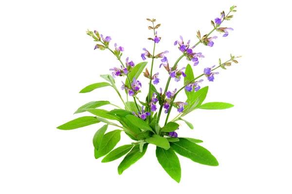 салвия, градински чай, салвия билка, билка, билки