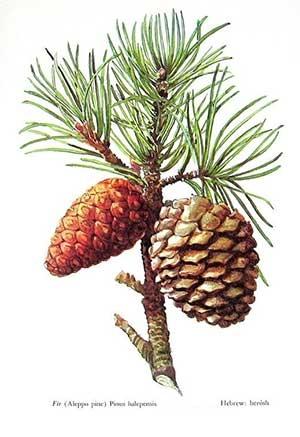 Pinus halepensis, Pine Alepo, Pine Allepo, Алепски бор, Рецинов бор