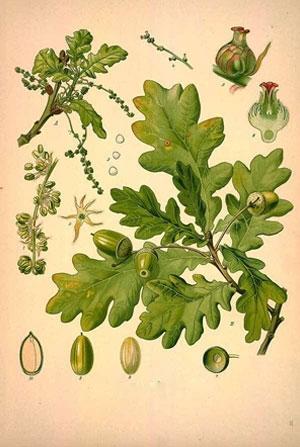 Дъб кора, Quercus robur
