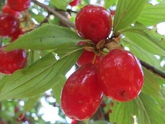 дренки, плод, билки, есенни билки, лечебни билки през есента