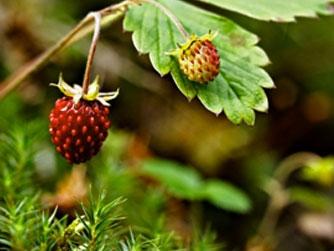 горска ягода, дива ягода, ягода билка, ягода лечение, есенни билки, билки през есента