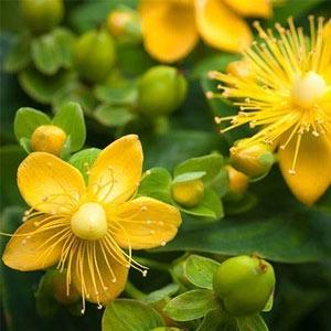 жълт кантарион, кантарион, билка, билки