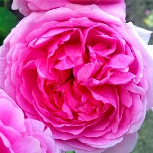 роза, роза дамасцена, българска роза, цвете