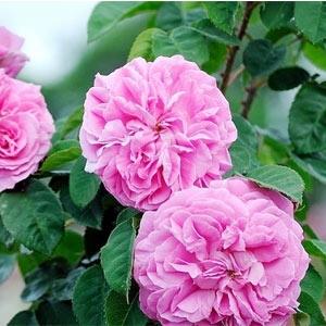 роза, роза дамасцена, българска роза