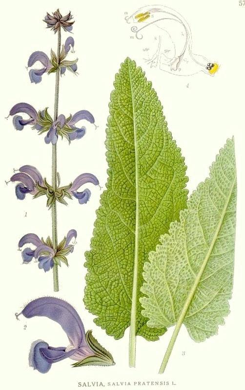Салвия, ливаден конски босилек