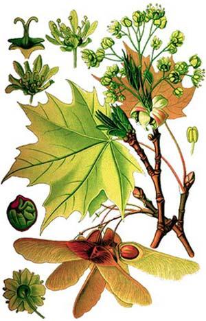 кленово дърво в българия Кленът   меката енергия на природата кленово дърво в българия