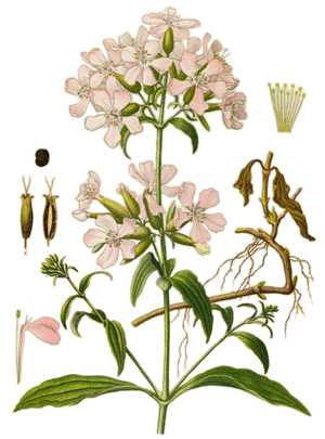 Сапуниче, Saponaria officinalis
