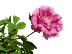 Роза маслодайна, казанлъшка