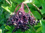 черен бъз, плод