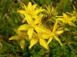 жълт кантарион, звъника,билка,билки