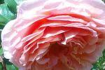 ЕРОТИЧЕН ЧАЙ - портокал, роза, мента 120гр