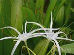 кринум, дива лилия
